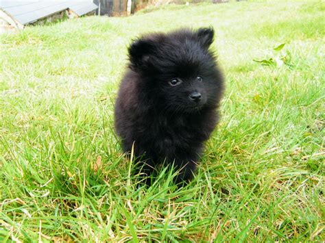 pomeranian breeders in ohio pomeranian puppies for sale ohio happy memorial day 2014