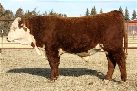 holden herefords annual sale offers top line one yearing