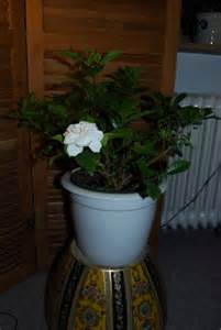 growing aromatic houseplants indoor plants that smell good