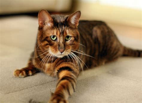 toyger cat five cat breeds for the yuppie associate attorney greedy