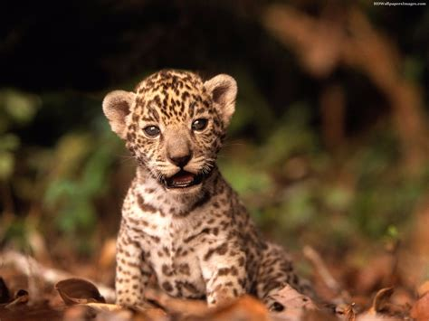 imagenes de jaguar bebe im 225 genes de animales beb 233 que robaran tu coraz 243 n cc