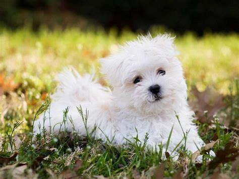 pros and cons of getting two puppies breeds small choosing guide popular issues overview
