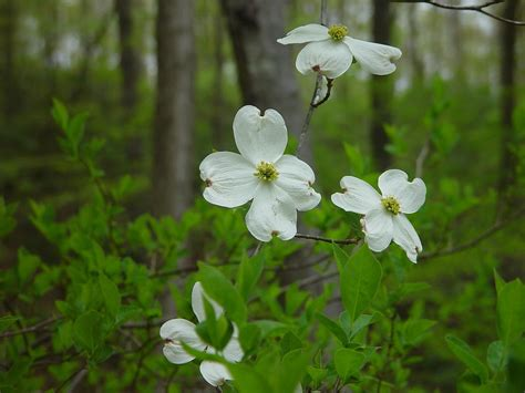 a new flowering 1000 benthamidia florida flowering big bracted dogwood go botany