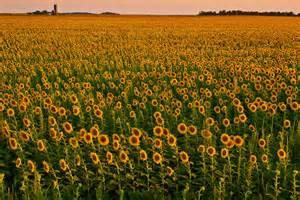 sunflowers in kansas kansas sunflowers