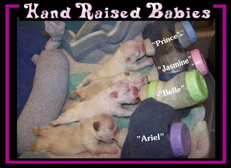 dog c section cost how much do french bulldog puppies cost dog breeds picture