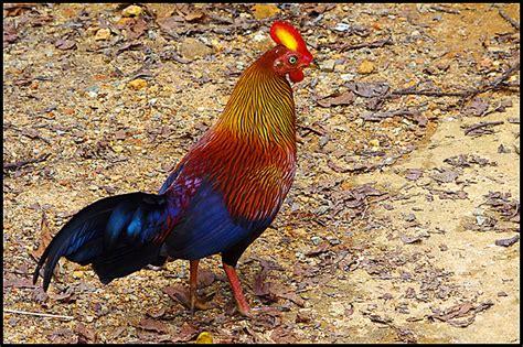 gallos de peleas de todas las razas gallos de peleas de todas las razas