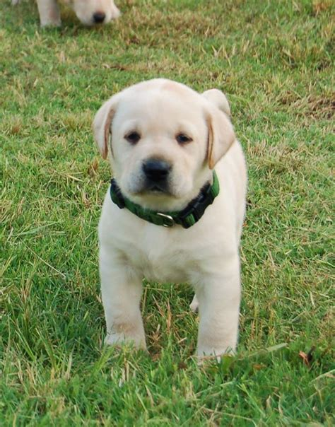 lab puppies for sale chion labrador retriever puppies for sale labrador puppies for sale