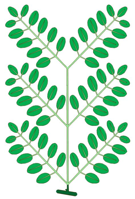 Wisc Simple Search File Leaf Morphology Type Bipinnately Compound Png