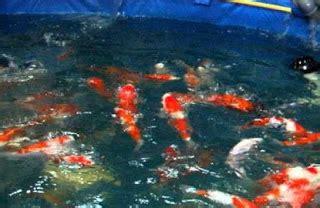 Bibit Ikan Koi Di Aquarium berbagai cara budidaya ikan koi di kolam terpal simple