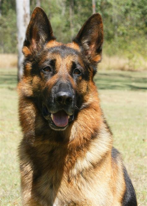 best golden retriever breeders east coast german shepherd breeders south east queensland dogs our friends photo