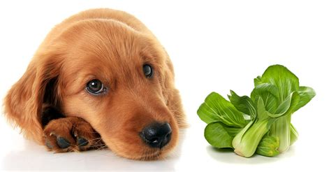 can dogs eat bok choy can dogs eat bok choy safely and how should we prepare it