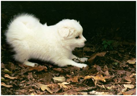 eskimo spitz puppy americian eskimo spitz puppy by cottoncandipixie on deviantart