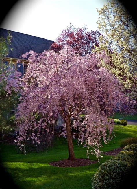 weeping flowering cherry tree garden pinterest