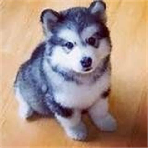 that looks like a puppy forever pomsky puppy so dogs