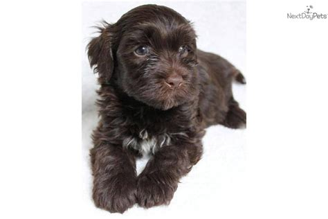 havanese chocolate puppies akc havanese puppies chocolate havanese puppies akc havanese puppies breeds picture