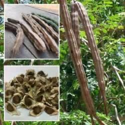 baum pflanzen 50pcs organische moringa oleifera saatgut unterschenkel