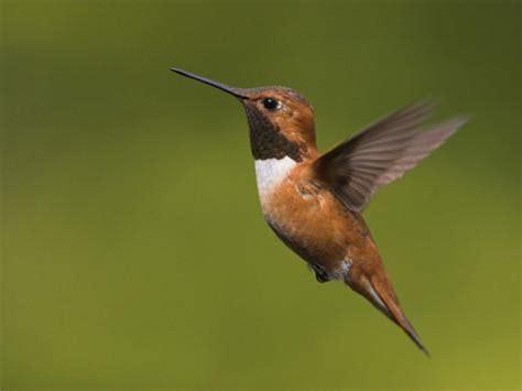 rufous hummingbird flying selasphorus rufus victoria