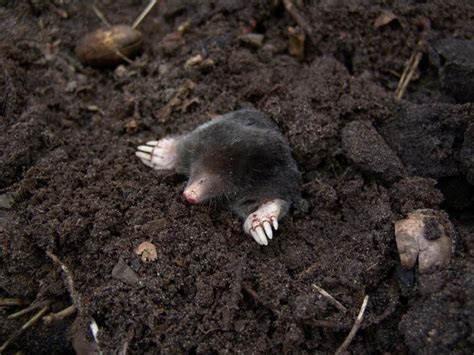how to get rid of moles in the backyard moles how to identify and get rid of moles in the garden