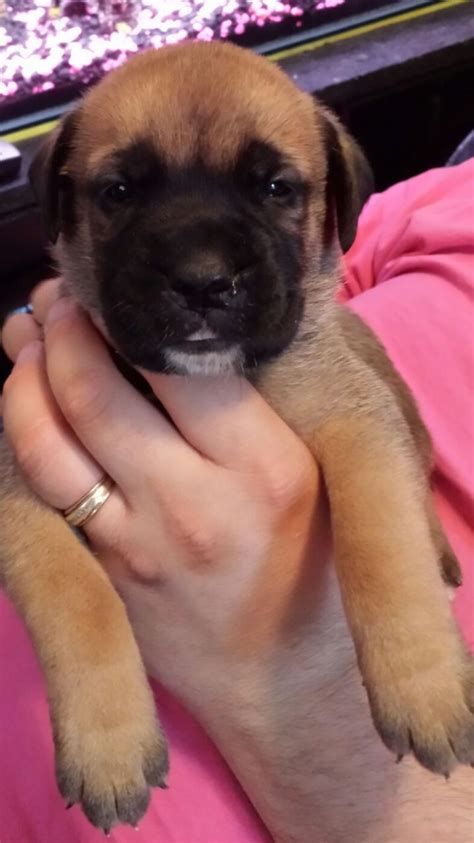 bernard puppies for sale bullmastiff x st bernard puppies for sale swadlincote derbyshire pets4homes
