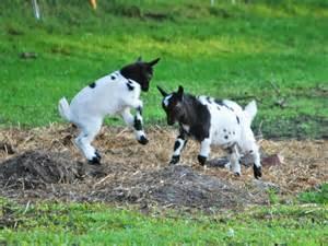verkaufen kaufen zwergziegen zu verkaufen in rhauderfehn tiere