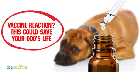 allergic reaction in dogs canine vaccine reaction