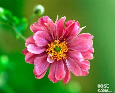 il colore dei fiori anemoni giapponesi i fiori dell autunno cose di casa