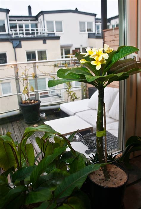 plumeria frangipani growing indoors  containers