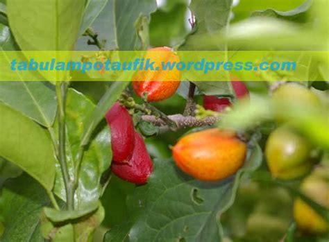 Bibit Tanaman Kacang Butternut 30 80cm kacang butternut tabulotaufik