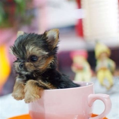 a baby yorkie baby yorkie cutest yorkies cups black and black