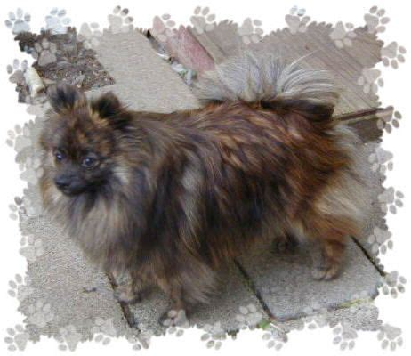 brindle pomeranian brindle pomeranian search yes absolutely looks like willow again this