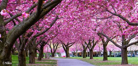 Sakura Matsuri 2013 at Brooklyn Botanical Garden   Blog