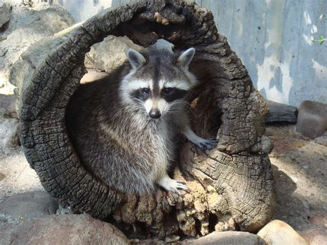 How To Keep Raccoons Out Of Your Garden by How To Keep Raccoons Out Of A Garden