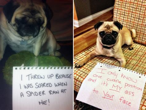 pug shaming pug shaming