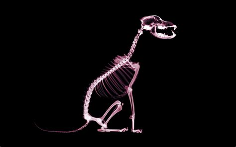 printable animal x ray pictures skeleton dog wallpapers and images wallpapers pictures