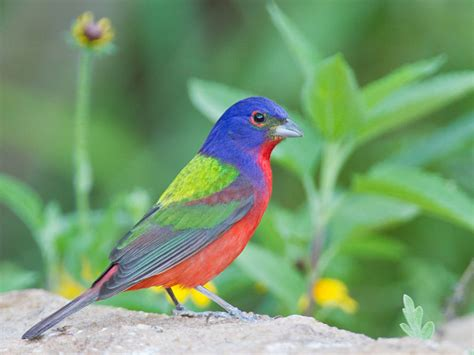 birds vol 1 1 nonpareil painted bunting lee s
