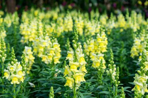 foto fiore bocca di bocca di scrophulariaceae fiore giallo bello