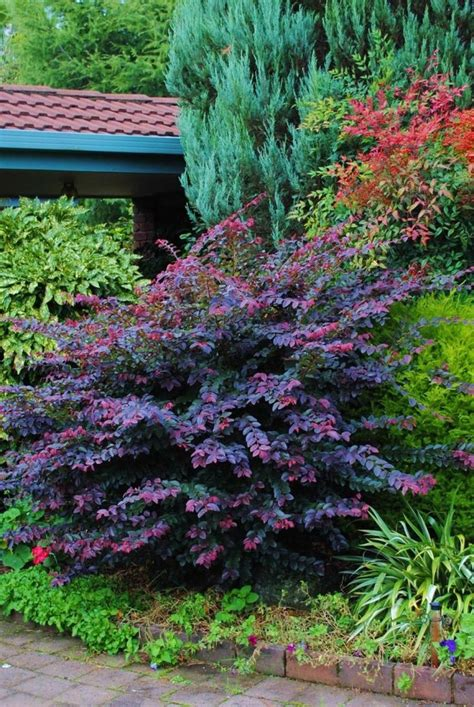 69 best images about evergreen shrubs on pinterest sun pine and shearing