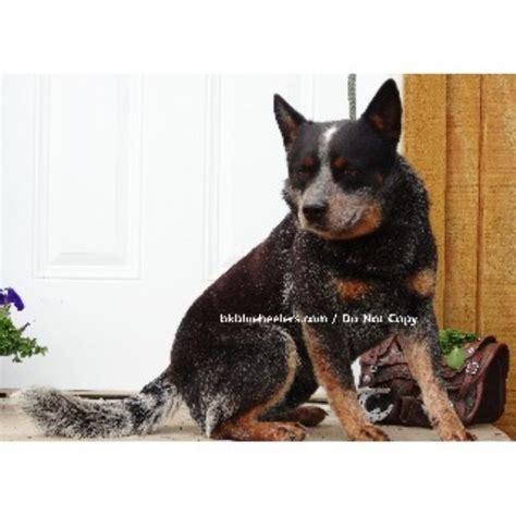 dachshund puppies for sale in new braunfels burnt kerosene blue heelers australian cattle breeder in new braunfels