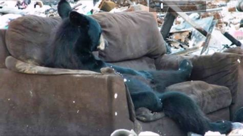 where can i dump a couch black bear knows how to use a couch dump picture taken