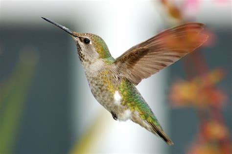anna s hummingbird bird light wind