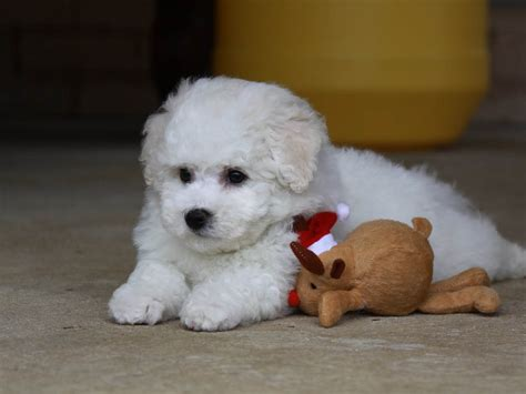how do puppies need to stay with their breeds picture breeds puppies breeds do not shed