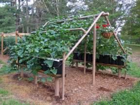 Building A Garden Trellis by Growing Concord Grapes Building A Garden Trellis Using