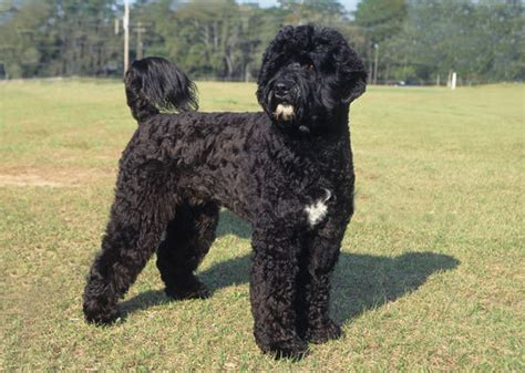 dogs that like water discussion goldendoodle dogs