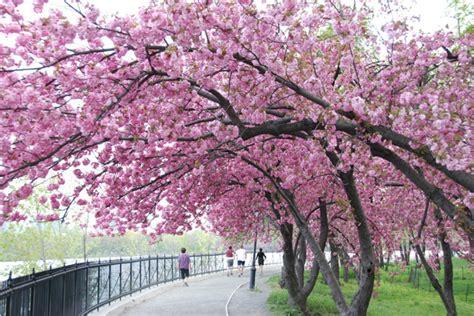 japanese blossom tree japanese cherry tree images wallpaper
