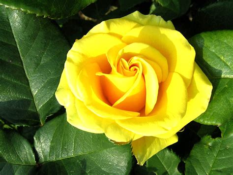flower wallpaper green rose yellow rose flower wallpaper with green leaves hd