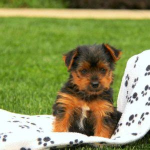 yorkie poo puppies for sale in maryland yorkie poo puppies for sale in de md ny nj philly dc and baltimore breeds picture