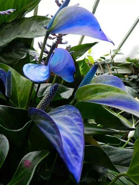 anturio azul favoritos pinterest gardens flower and seeds