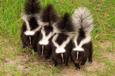 skunk spray how to get rid of skunk smell best skunk spray removers up to 10