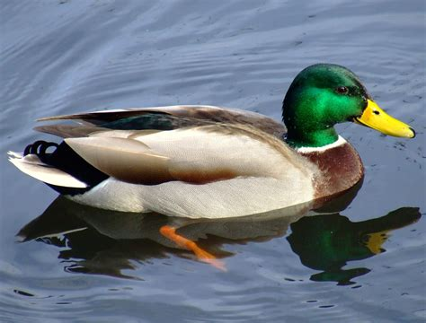 google images ducks duck google search everette s animals pinterest