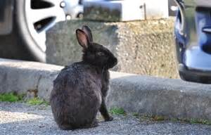 the rabbit the solution to our domesticated issues books richmond auto mall seeks solution to feral rabbit problem
